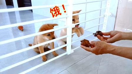 33天的小奶狗有多馋肉?开足马力来抢,骂骂咧咧地吃得真香