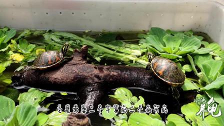 火焰龟苗子的背甲越养越丑,为什么?应该怎么处理?