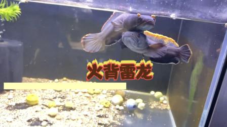 给朋友送一些进口雷龙鱼,一条价值几百元,仔细看就像菜市场的鱼