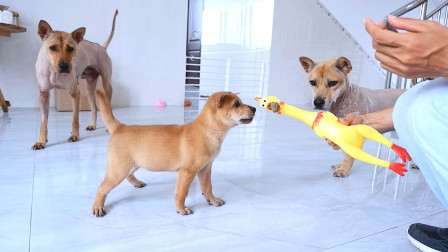 测试2只小奶狗的胆量,36天的小奶狗谁最大胆?