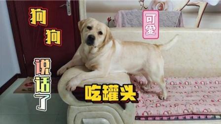 一只爱说话的狗狗,正在等着吃罐头,心里美滋滋