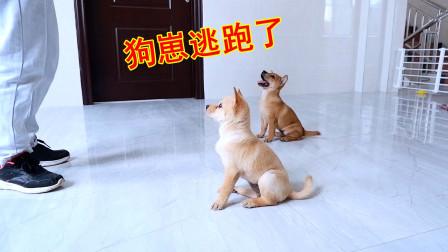 皮豆开心果:幼狗崽逃跑了,还玩失踪,主人急得都快哭了