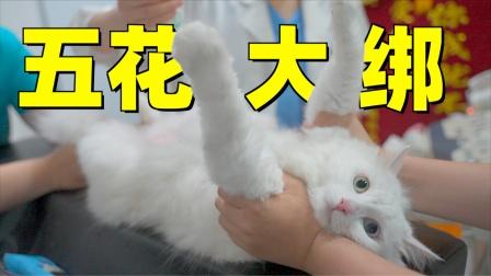 猫咪胖成球了还要吃,送医院检查果然出问题