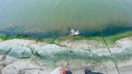 有鱼追咬就是不中,换个方法黑鲷连竿,这鱼平时路亚钓到可不多