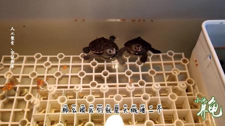 小池养龟:钻纹龟一天喂几次,什么时候喂,给它喂些什么?