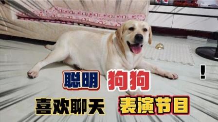 拉布拉多喜欢聊天,还会表演节目逗主人开心,你喜欢这只狗吗
