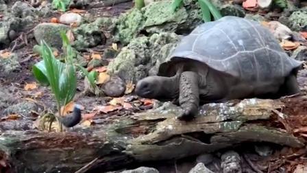 吃素巨型陆龟开荤吃掉小鸟 罕见影片曝光