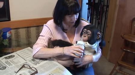 纪录片:美国女子终身不嫁,养三只猩猩当孩子,甚至送猩猩去上学