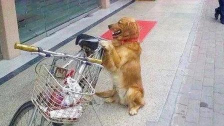 主人去银行取钱,让金毛看守自行车,出来看到金毛后笑喷了