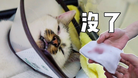 猫咪醒来后发现巨蛋被割痛不欲生,疯狂打砸医院报复泄愤