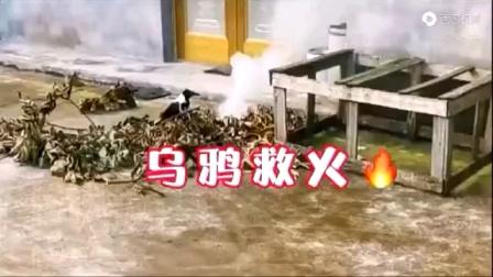 动物奇观《乌鸦救火》