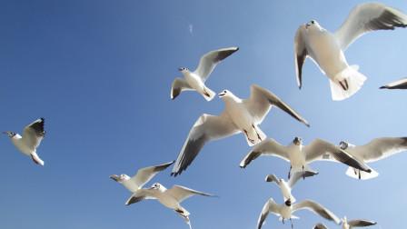 天蓝蓝海蓝蓝  海鸥翻飞大自然 春之大连旅顺纪游