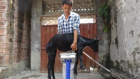 老板卖羊不称重按个卖,75斤山羊当60斤卖,让小莫捡了大便宜