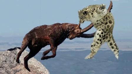 雪豹捕食羱羊,不料同时从百米悬崖坠落,雪豹奇迹生还饱餐一顿