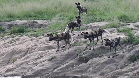 野狗瓮中捉鳖捕食羚羊,没想到黄雀在后,被鬣狗抢食