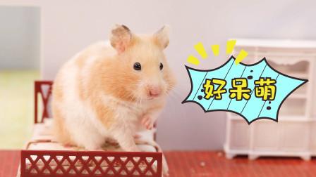 当仓鼠被寄养在新手家里,你们都憋住别笑