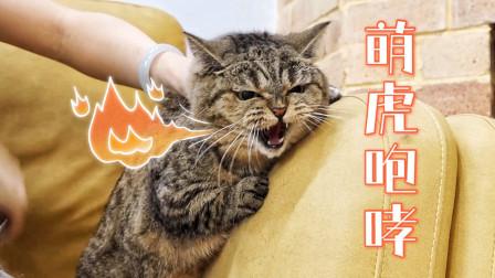 给暴躁短腿猫梳毛有多难?全程飙骂咬人,太凶了!