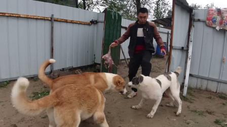 中亚跟高狼抢食吃,没想到被打的节节败退,结局惨不忍睹!