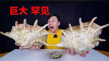有幸买到俩罕见笔架螺,个头巨大外壳坚硬,用2吨汽车能压碎吗