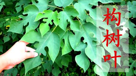 构树叶在农村成了香饽饽,这3大妙用真不错,一年能省几千块