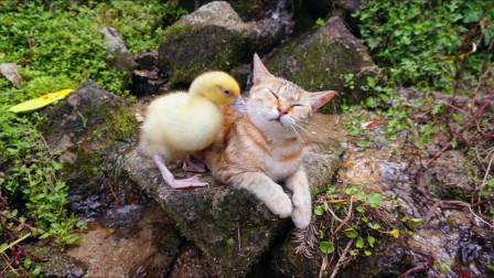 热衷于带鸭仔鸡仔 这样的猫咪你们喜欢么?