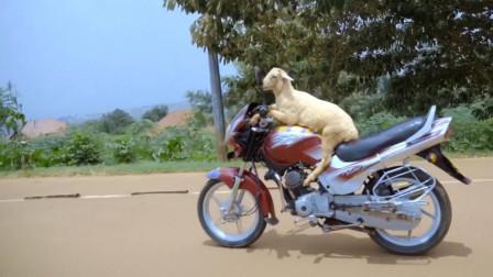 纪录片:你以为印度人开摩托车最厉害,非洲的山羊第一个不答应