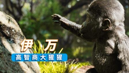 高智商大猩猩的奇幻经历,真实事件改编电影