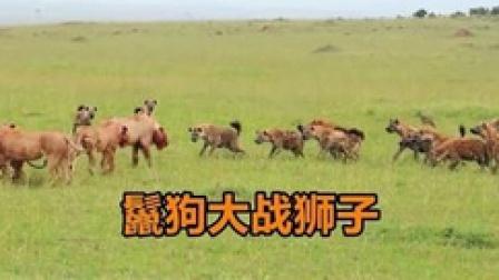 鬣狗倚仗数量优势,妄想从狮口夺食,雄狮的出现让鬣狗溃不成军