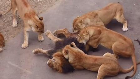 这头雄狮这是犯了什么错?被6只母狮撕咬,下场太惨!