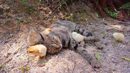 瞌睡猫瞌睡鸡