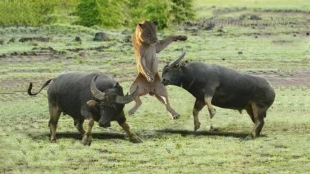疯狂的水牛,用牛角顶爆车子的轮胎,把小疣猪也顶飞了!