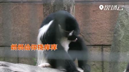扬州:可可爱爱!黑白疣猴喜添丁