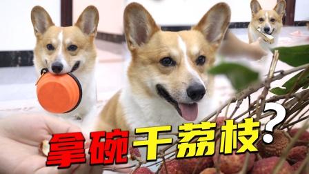 听主人说荔枝太多了,狗子竟然去拿碗来?