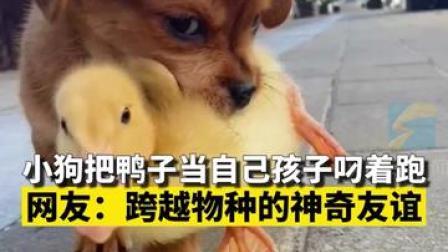 可可爱爱!9月26日,山东泰安,小狗把鸭子当自己孩子叼着跑,网友:跨越物种的神奇友谊!#小狗子