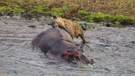 """鬣狗""""掏肛""""大象,却被""""屁""""嘣上天?"""