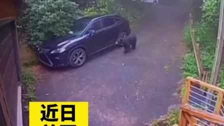 不就开了一下你的车嘛,熊都被你吓跑了