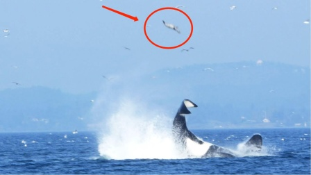 海豹被虎鲸扔上百米高空,空中自由旋转5圈才落下