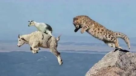 雪豹追捕岩羊 ,一脚踩空跌落百丈悬崖!