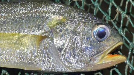 大齐赶海,发现大围网困住一片海鱼密密麻麻全都是,还有大黄花鱼