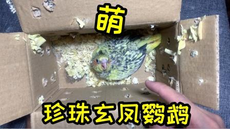 """新买的""""珍珠玄凤鹦鹉""""到了,开箱后又呆又萌,太可爱了吧!"""