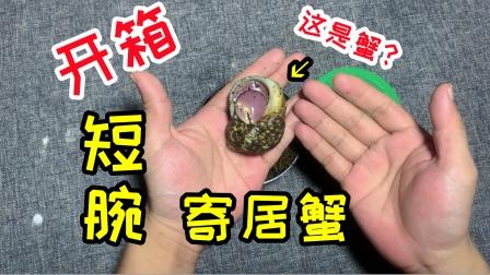 """网购开箱""""短腕寄居蟹""""1只,确定这是蟹吗?怎么越看越像小龙虾"""