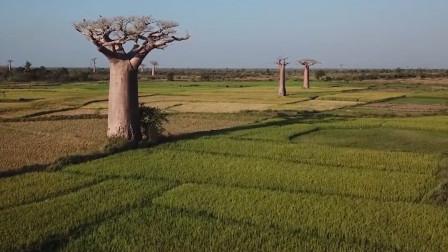 能活5000多年的长寿树,被砍掉还能自我修复,简直是国宝