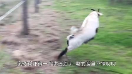 """山羊刚一触碰电网,直接翘头弹""""起飞"""",网友:不作死就不会死!"""