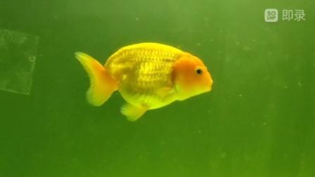 绿水养兰寿金鱼一周,变胖了