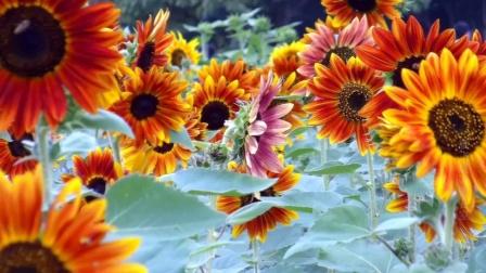 合肥植物园《向日葵》观赏_雁飞晨光