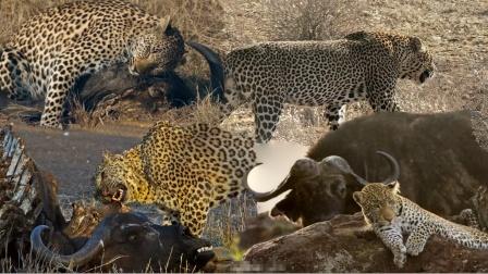 豹子袭击小水牛,被众水牛顶上树,水牛团结到底有多厉害呢