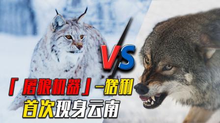 """""""屠狼机器""""现身云南,有人担心它压制狼群,这家伙只杀狼不吃狼"""