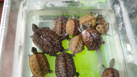 金线草龟王八乌龟