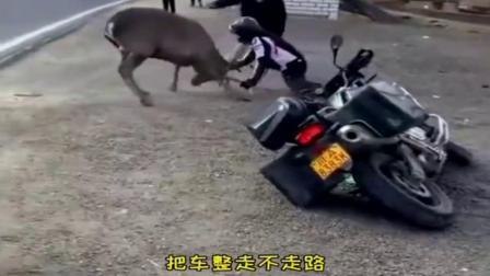 男子为了保护心爱的摩托车,与野鹿干了一架
