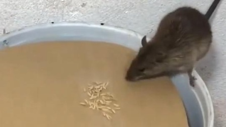 这一次老鼠们又全遭了,老鼠团灭!